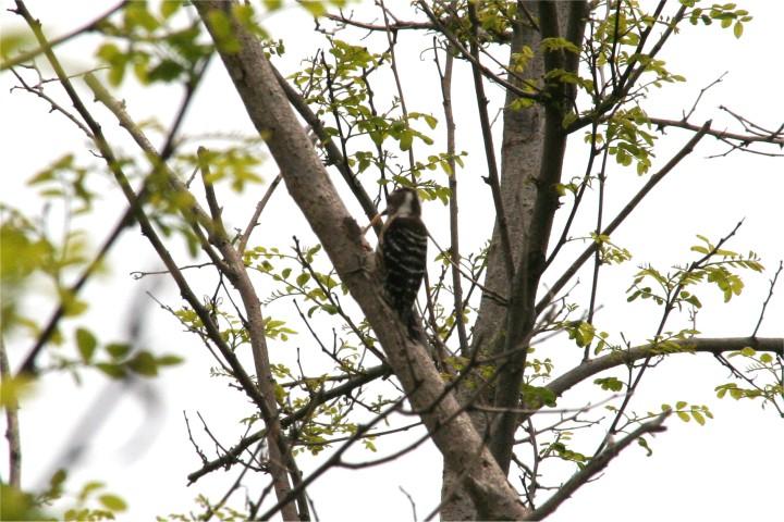 啄木鳥の一種?