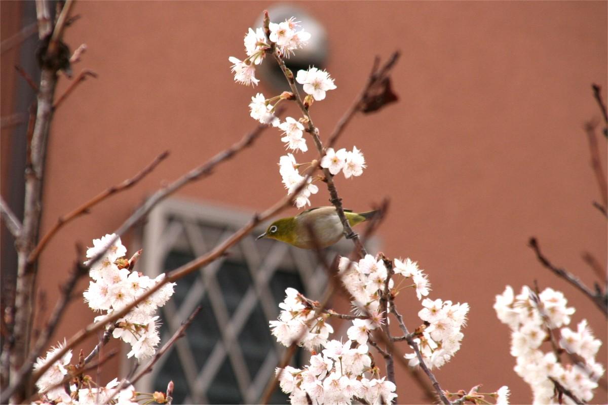 寒桜とメジロ1