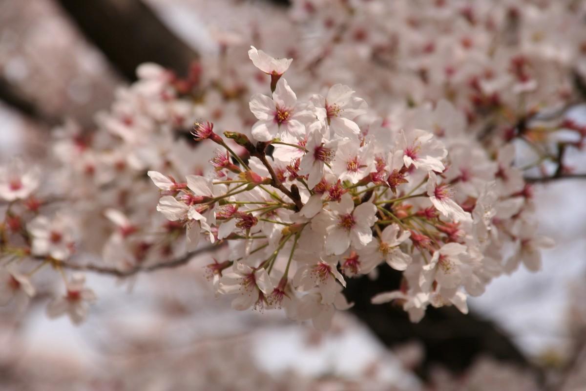 陸上競技場周囲の桜