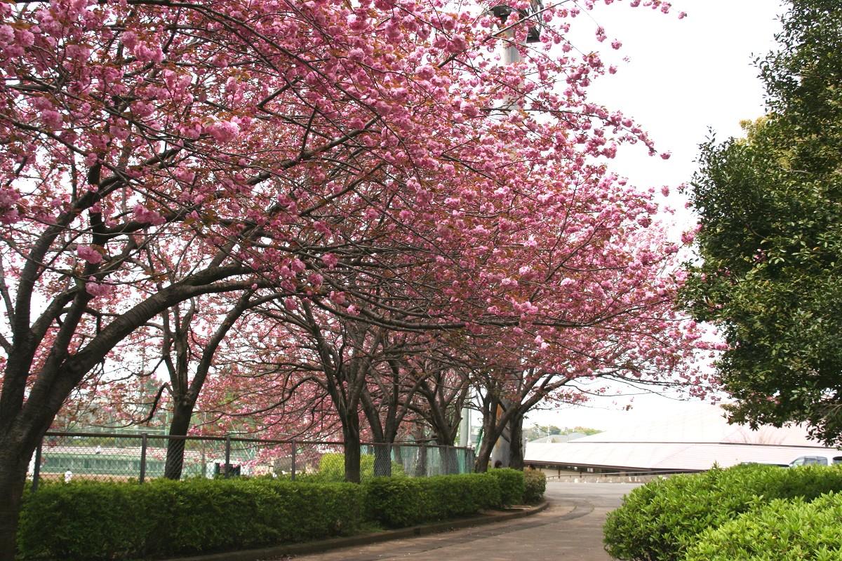 球場周囲の八重桜